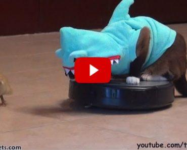 Shark Cat on Roomba