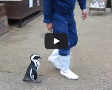 Penguin Chasing Man