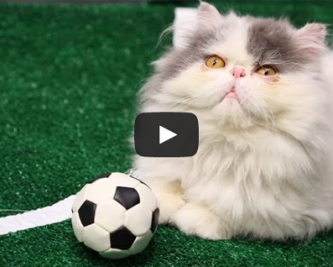 World Cup 2014 Highlights Ultimate Cat Edition
