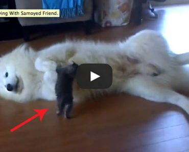 Watch this little kitten rough up this big Samoyed!