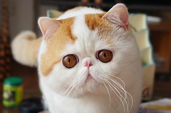 Snoopy-Cat