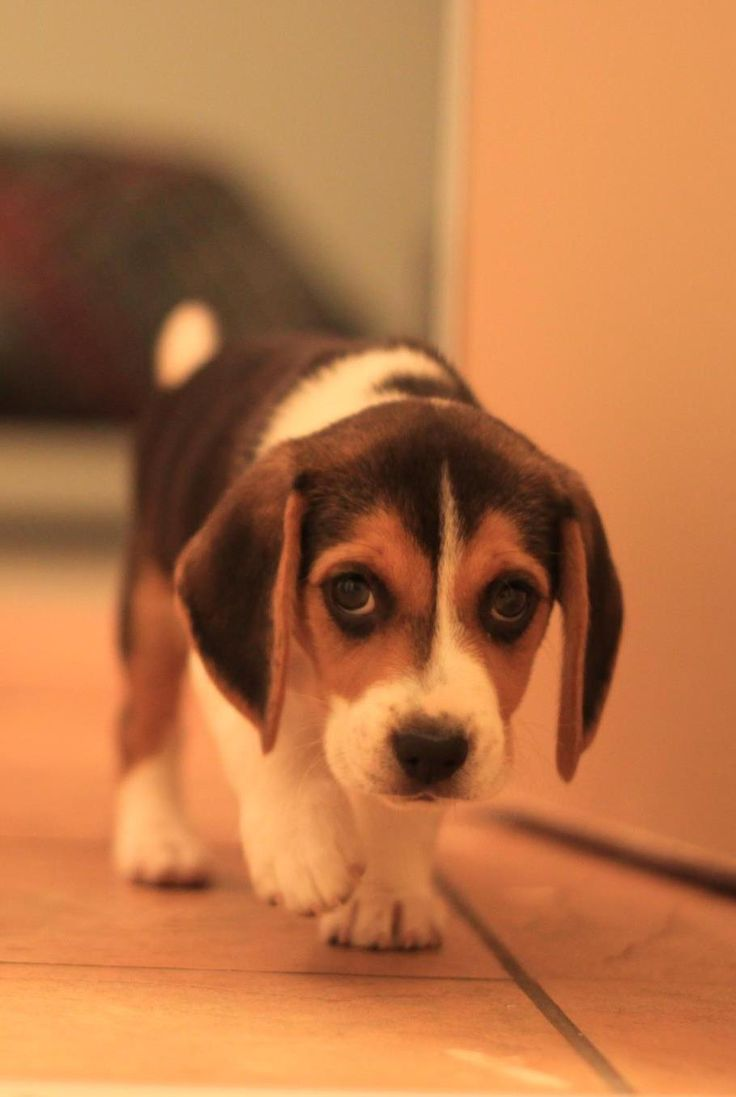 10 cute beagles that will make you giggle i heart pets 3 goodness those eyes are so cute voltagebd Image collections