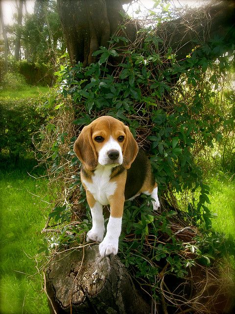 beagles-charmlady-flickr