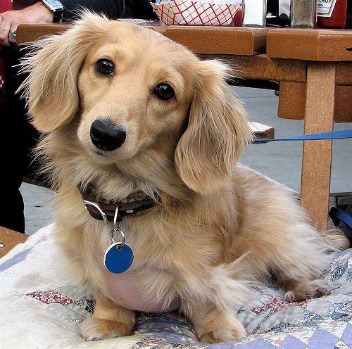 cute-dachshunds-loveyourdog.com-flickr