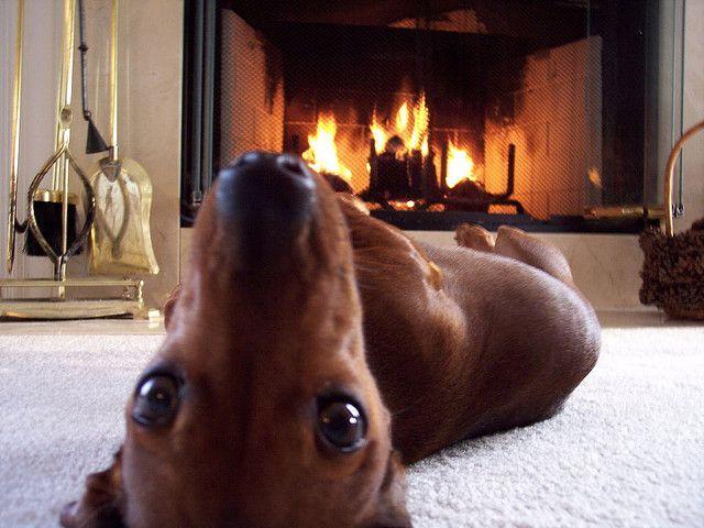 cute-dachshunds-slimwhitman-flickr