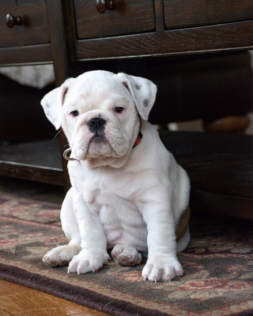 english-bulldog-7