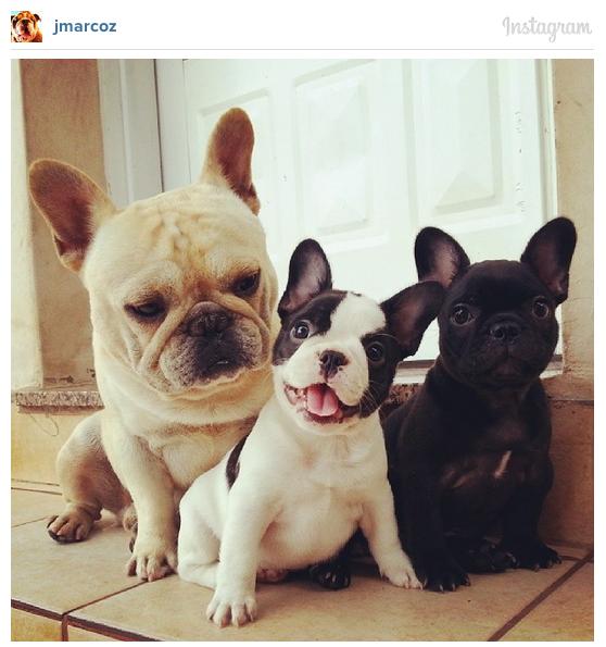 french-bulldogs-instagram