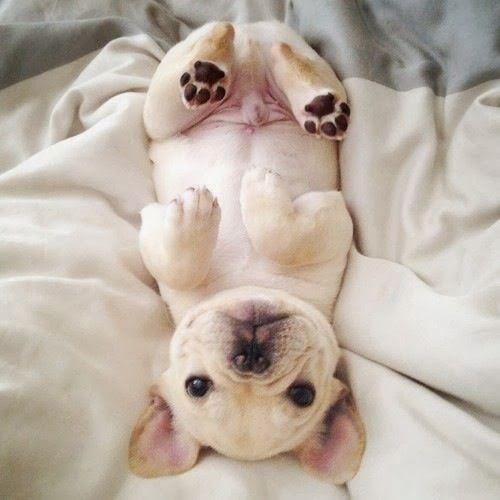 English Bulldog Sleeping In Bed