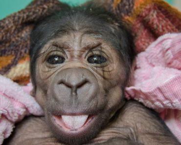 newborn-gorilla-2