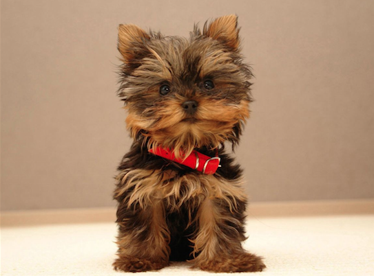 How big is a yorkshire terrier brain