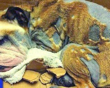 English-Bulldog-Found-Unconscious