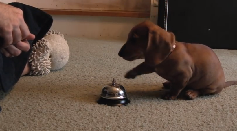 Genius Puppy Learns To Ring A Bell I Heart Pets