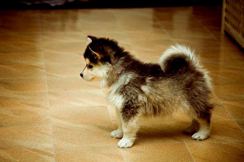 Are These Really Pomsky Puppies You Be The Judge I Heart Pets