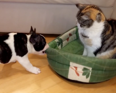 french-bulldog-puppy-reclaims-bed