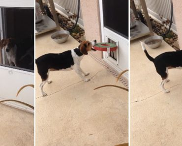 Determined Beagle Doesn't Stop Until She Gets Her Toy!