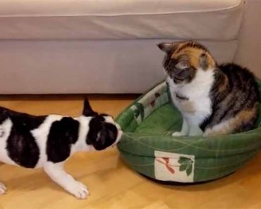 French Bulldog Bed Stolen By Cat