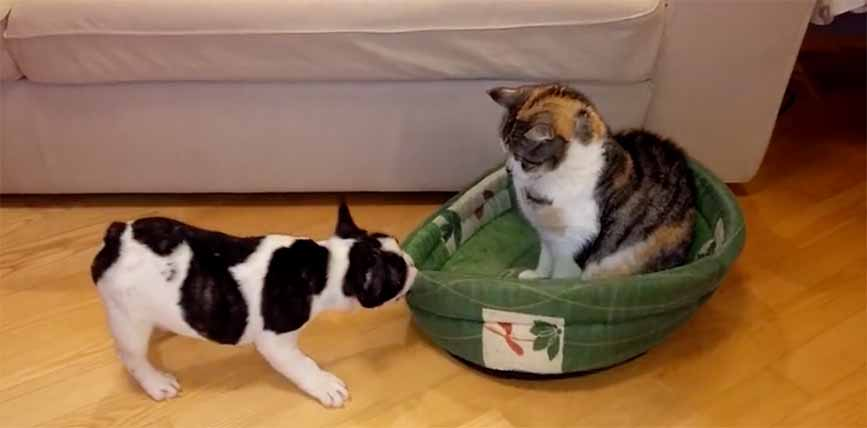 This French Bulldog Had His Bed Stolen By A Feline Culprit
