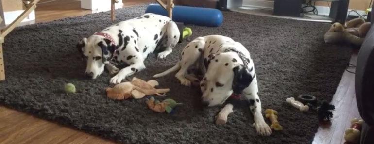 Dalmatian loses toy