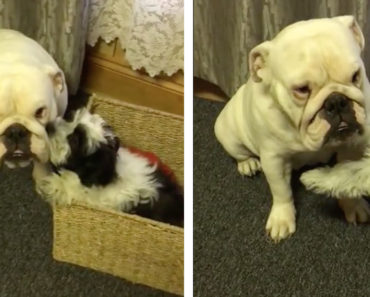 Lady the Deaf Bulldog gets pampered by Shih Tzu Puppy