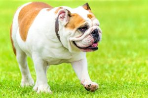 This image has an empty alt attribute; its file name is Dog-Health_English-Bulldog-300x200.jpg